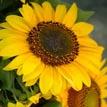 sunflower107