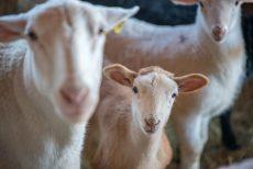 Martha's Vineyard Sheep