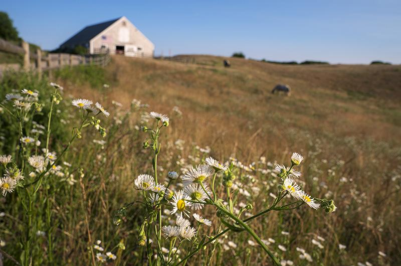 Daisies sprout in the foreground of a color photo of the horse pasture at Sweetened Water Farm on Martha's Vineyard