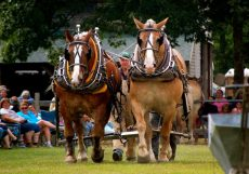 draft horses at the fair
